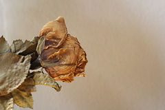 Dead rose. Photos dead roses on brown background vintage style Royalty Free Stock Photos
