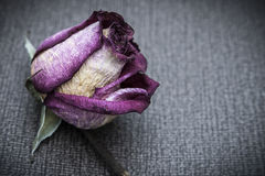Dead Rose. A dead rose sofre gray background Stock Photo