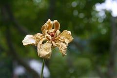Dead Rose on Stem Stock Photo