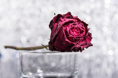 Dead Rose Stock Photography