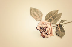 Dead rose. withered rose Stock Photos