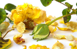 Dead rose and yellow bud stock photos
