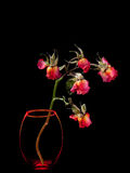 Dead Roses In Vase Isolated On Black Royalty Free Stock Photos