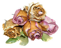 Dead Roses Isolated On White Royalty Free Stock Images