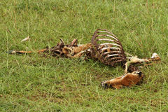 Dead and Rotting Gazelle Carcass. A dead and decaying carcass of a gazelle lies rotting on the plains of Africa with a butterfly inside feeding on the flesh Royalty Free Stock Photography