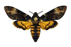 Dead's head hawkmoth Royalty Free Stock Photography