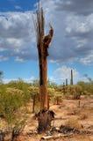 Dead Saguaro Stock Images