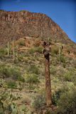 Dead saguaro cactus Royalty Free Stock Photos