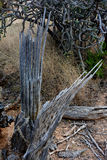 Dead Saguaro Cactus Ribs Pointing Right Stock Photography