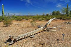 Dead Saguaro Cactus Skeleton in Organ Pipe Cactus National Monument. Close-up view of a large dead Saguaro cactus skeleton and blue sky copy space in Organ Pipe stock image