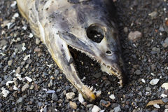 Dead salmon laying on beach Stock Images