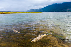 Dead salmon. Life cycle of Pacific Salmon, Fraser River Basin, Canada Stock Image
