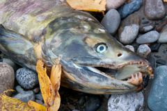Dead salmon with sharp teeth. In detail on ground royalty free stock image