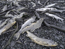 Dead salmons Stock Photography