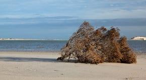 Dead schrub lying on the beach Stock Photos