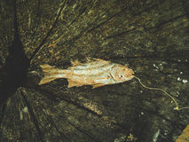 Dead sea fish Stock Photography