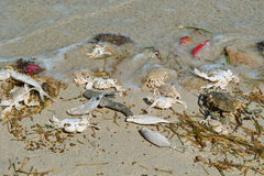 Dead sea fishes, crabs, grass. Stock Images