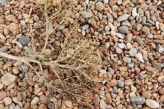 Dead sea kale on a shingle beach Stock Image