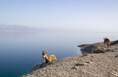 Dead Sea and Nubian ibex group, Israel Stock Image