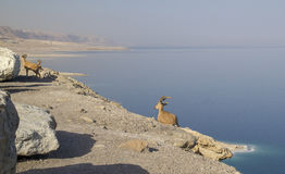 Dead Sea and Nubian ibex group, Israel Stock Photography