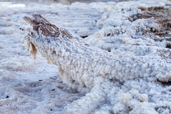 Dead Sea salt lump covered trunk stem. Royalty Free Stock Photos