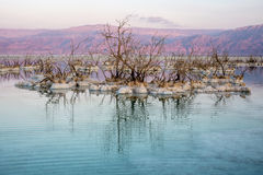 Dead Sea Trees in Israel. The salty water of the dead sea has turned this trees into fossils Royalty Free Stock Photos