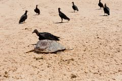 Dead Sea Turtle Royalty Free Stock Photography