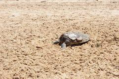 Dead Sea Turtle Royalty Free Stock Photos