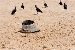 Dead Sea Turtle Stock Images