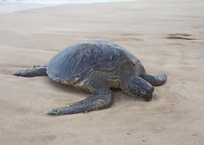 Dead sea turtle Stock Image