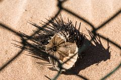 Dead sea urchin on the sand. Egypt. Royalty Free Stock Images