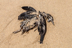 Dead Seabird on the Beach Royalty Free Stock Photo