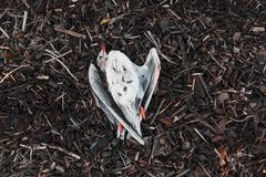 A dead Seagull lies on the debris , a piece of wood from the sea .the concept of pollution . stock images