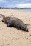 Dead Seal Stock Photo