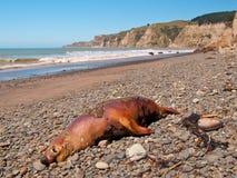 Dead seal Royalty Free Stock Photos