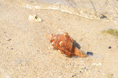 Dead seashell washed ashore Stock Photos