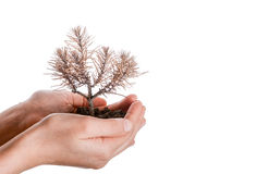 Dead seedling in hand. Hand holding a dead tree in hand in a handful soil on a white background Royalty Free Stock Images