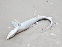 Dead shark. Closeup Dead shark on the beach stock images