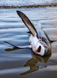 Dead shark lies on beach waiting to be processed. In Puerto Lopez, Ecuador stock image