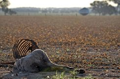 Dead sheep with rib cage exposed in dry field. At sunset in summer in farmland, central west region, NSW, Australia. Drought, climate change and global warming Stock Photos