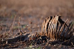 Dead sheep with rib cage exposed in dry field. At sunset in summer in farmland, central west region, NSW, Australia. Drought, climate change and global warming Royalty Free Stock Photos