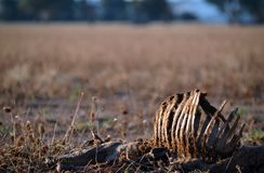 Dead sheep with rib cage exposed in dry field. At sunset in summer in farmland, central west region, NSW, Australia. Drought, climate change and global warming Stock Photography