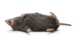 Dead Shrew Royalty Free Stock Photos