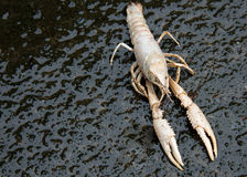 Dead shrimp out into the Stock Photo