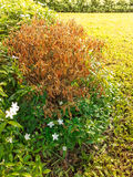 A dead shrub plant with grass in the garden Royalty Free Stock Photo