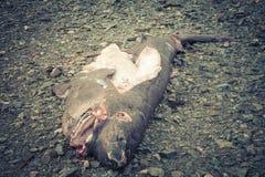 Dead Sleeper Shark. With cuts on a beach near Haines Alaska stock photos