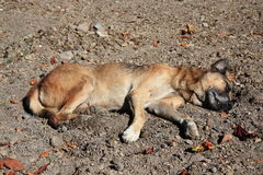 Dead (or sleeping) stray dog Stock Photography