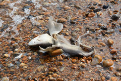 Dead smooth-hound shark washed ashore Royalty Free Stock Images