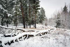 Dead snow-covered tree in pine forest Stock Images