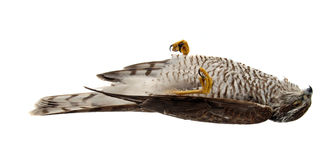 Dead sparrow hawk Royalty Free Stock Images